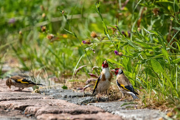 Goldfinches (m + juvenle) feeding on seeds of Brown Knapweed, xxl+more: bartussek.xmstore