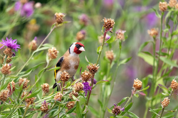 Goldfinch (m) feeding on seeds of Brown Knapweed, xxl+more: bartussek.xmstore