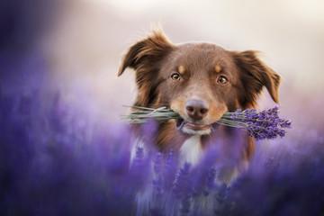 Australian shepherd - in lavender