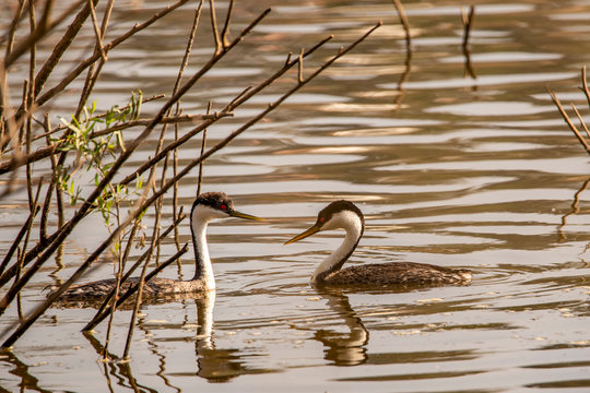 Western Grebes on the water