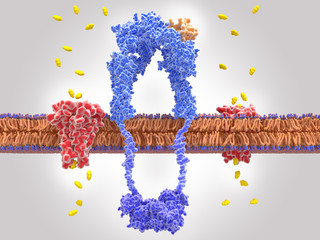 Binding of insulin to the insulin receptor leads to glucose uptake into the cell