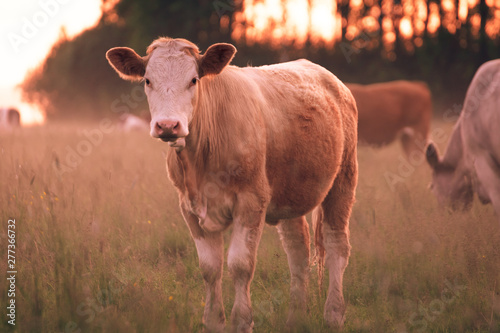 Wall mural cow in a field