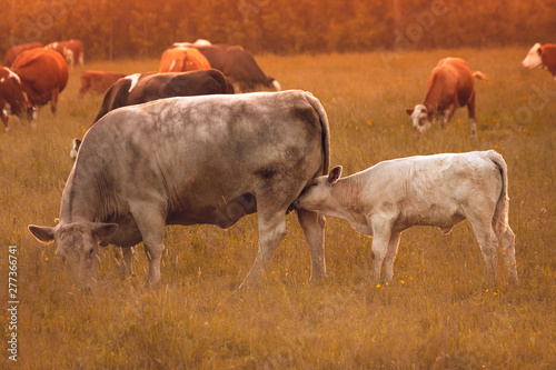 Wall mural cow and calf