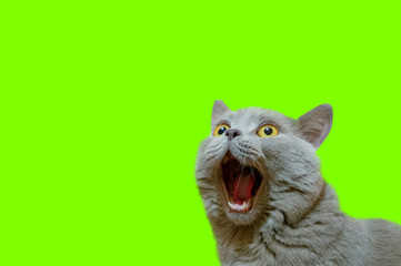 A lilac British cat looking up. The cat opened his mouth with a mad look. The concept of an animal that is surprised or amazed. The figure of a cat on an isolated background of UFO Green color.