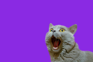 A lilac British cat looking up. The cat opened his mouth with a mad look. The concept of an animal that is surprised or amazed. The figure of a cat on an isolated background of Proton Purple color. Wall mural