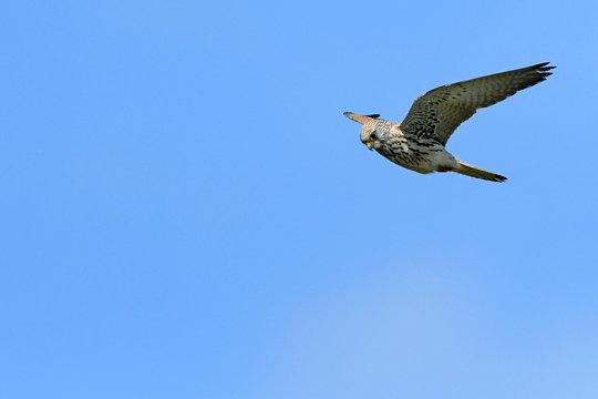 Rötelfalke (Falco naumanni) - Lesser kestrel