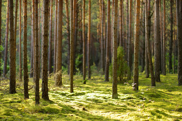Beautiful mixed pine and deciduous forest, Lithuania