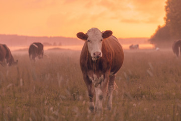 Wall Mural - Another cow in sunset