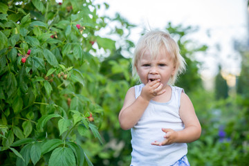Little toddler boy, child, gathering raspberiies