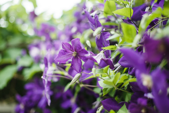 Clematis Climbing Plant, Liana. Large blue-purple flowers. Beautiful screensaver with blue flowers.
