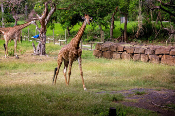 People enjoying giraffes in wild animal safari park