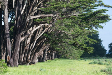 Papiers peints Forets Stunning Cypress alley at Point Reyes National Seashore, California, United States. Fairytale trees in the beautiful day near San Francisco, USA