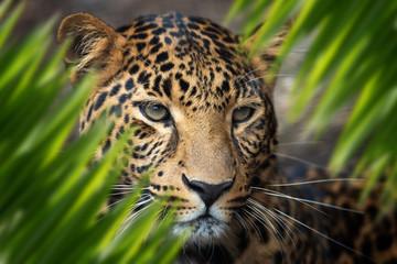 Wall Mural - Leopard portrait in jungle