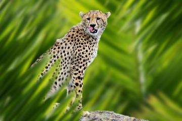 Wall Mural - Cheetah portrait in jungle