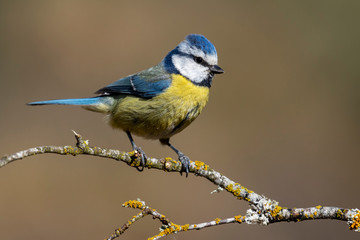 blue tit, (Cyanistes caeruleus), perched on the branch of a tree Wall mural