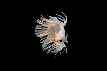 Foto op Plexiglas Vissen The moving moment beautiful of white siamese betta fish or fancy splendens fighting fish in thailand on black background. Thailand called Pla-kad or crown tail fish.