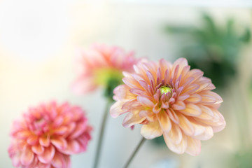 Close up of beautiful orange pink yellow Dahlia flower with copy space for text using as background natural plants landscape, ecology wallpaper concept.