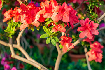 Photo sur Aluminium Azalea Blooming azalea flowers.