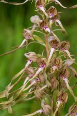 Bochs-Riemenzunge - Bocks-Riemenzunge - Himantoglossum hircinum