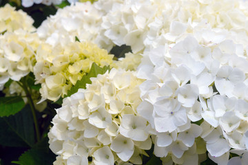 Papiers peints Hortensia Huge inflorescences of white large hydrangeas (Latin Hydrangea macrophylla). Beautiful, poisonous and healing floral hydrangea - a symbol of the island of San Miguel, Azores, Portugal