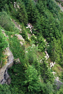 herd of sheep on the forested slope of fagaras. steep hills with rocks and spruce trees. beautiful background