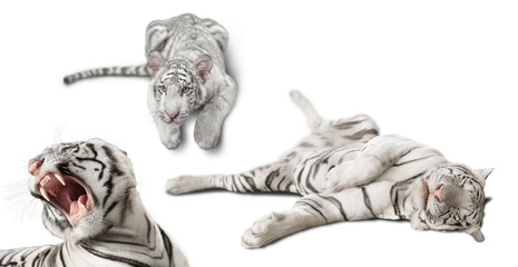 photo set white tigers isolated on white background