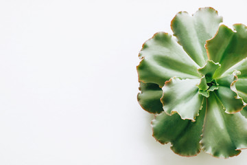 Spoed Foto op Canvas Planten Isolated the green succulent plants on a white background.