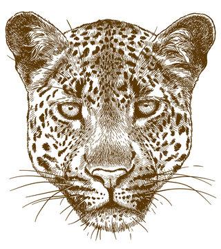 engraving illustration of leopard face
