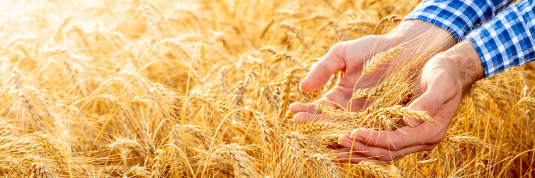 Hands Of Farmer Holding Ripe Golden Wheat At Sunset - Harvest Time Concept