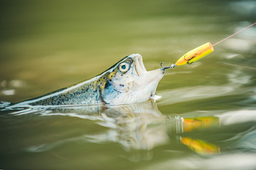 Steelhead rainbow trout. Fly fishing for trout. Brown trout being caught in fishing net.