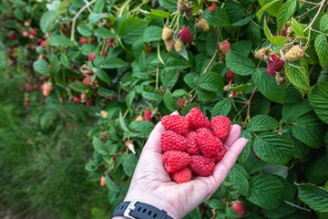 Woman's hand holding a bunch of harvested red raspberries on a rural farm, rainy day, Pacific...
