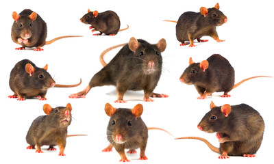 Rat gray collection isolated on white background