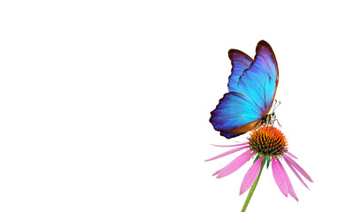 Beautiful blue morpho butterfly on a flower on a white background. copy spaces. Purple Coneflowers isolated on white