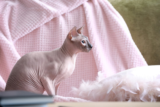 Funny Sphynx cat at home