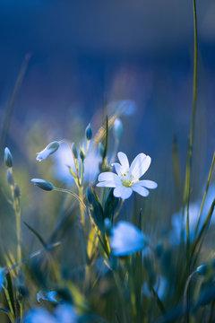 Sternmiere ( Stellaria ) - Makro der weißen zarten Blüte auf blauem Hintergrund