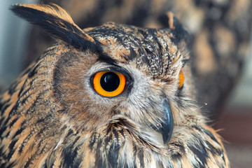 Portrait of the Eurasian Eagle Owl, bubo bubo. On white background. CLose up