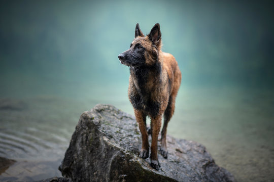 Belgian shepherd is standing in water. Dog in a mountain scenery with foggy mood. Hiking with mans best friend to lake.