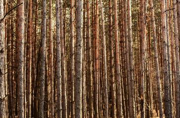 many pine trunks Fototapete