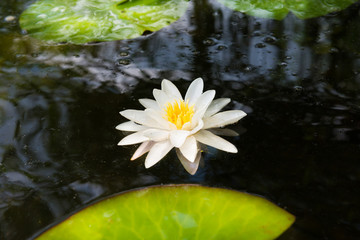 Poster de jardin Nénuphars Beautiful blossom white water lily flower with big green leaves in dark pond