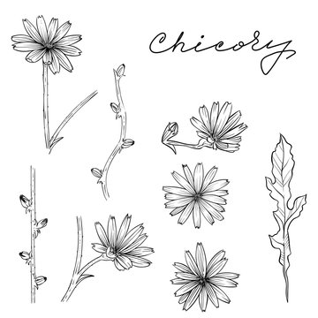 Chicory set hand drawn vector