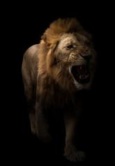 Foto auf Leinwand Löwe male lion walking in dark background
