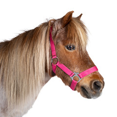 Brown with white Shetland pony, standing side ways. Looking straight ahead. Isolated on a white background.