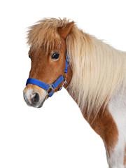 Shetland pony on white background