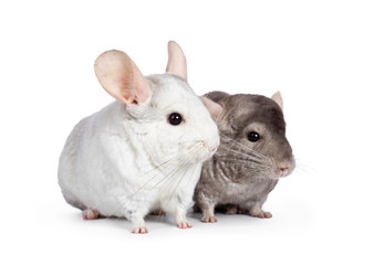 Cute grey and white Chinchilla's, sitting nect to each other. Isolated on white background.