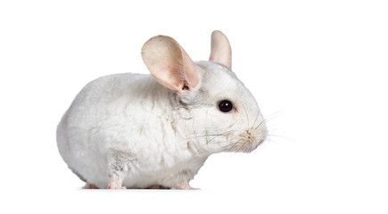 Cute white Chinchilla, standing side ways. Isolated on white background.