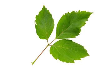 Box Elder Acer negundo  tree leaf isolated on white background