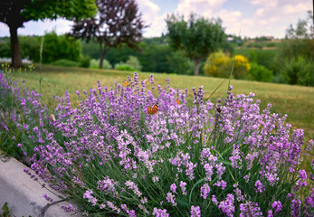 many butterflies sitting on a beautiful and fragrant lavender