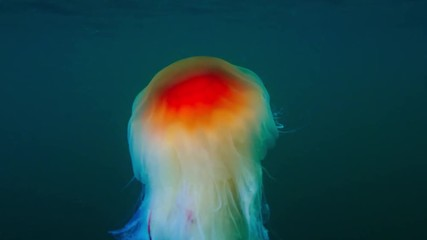 Wall Mural - Jellyfish Cianea Capillata in sea water underwater shot