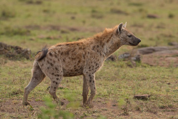 Fotobehang Hyena Hyena wandering the plains of Kenya
