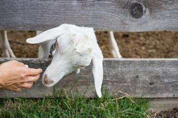 Friendly goat sticks head through wooden fence